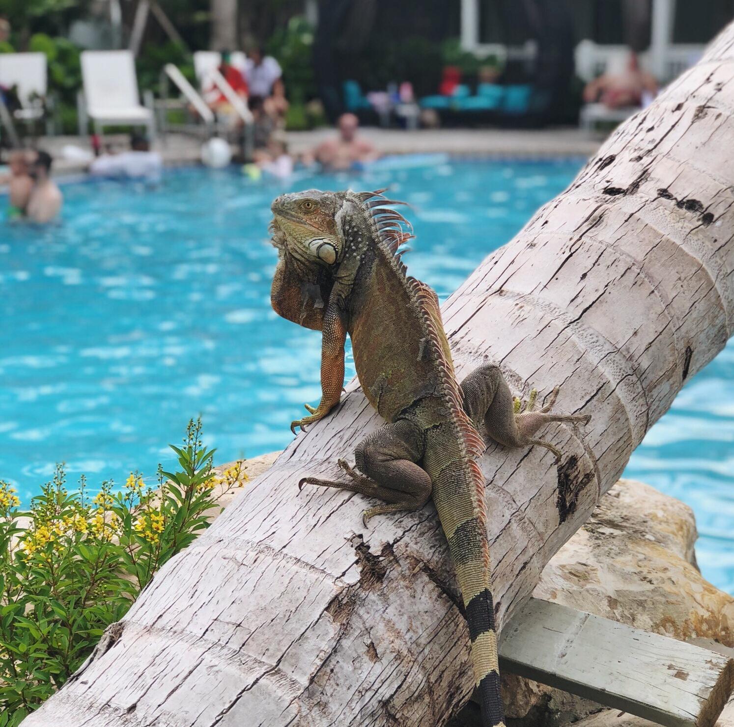 key west iguana